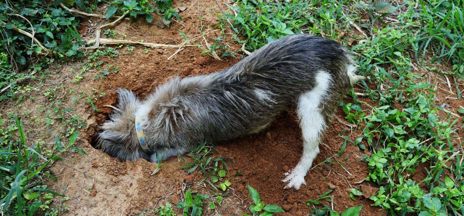dog-digging-in-weeds